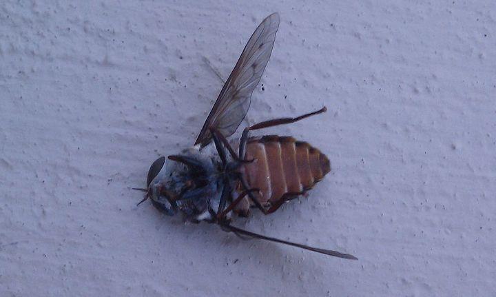 Deer Fly DEAD on its back