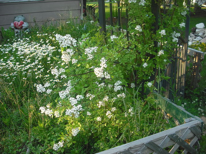 Wild white rose spreading into the garden and also had climbing hydragena on both sides here
