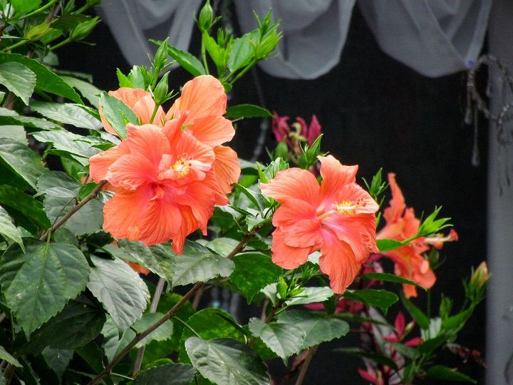 Hibiscus Plant How Tall Do They Grow Hometalk