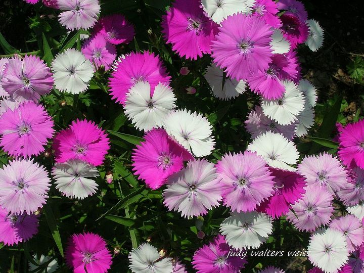 Dainty Dianthus with it's serrated flower edges