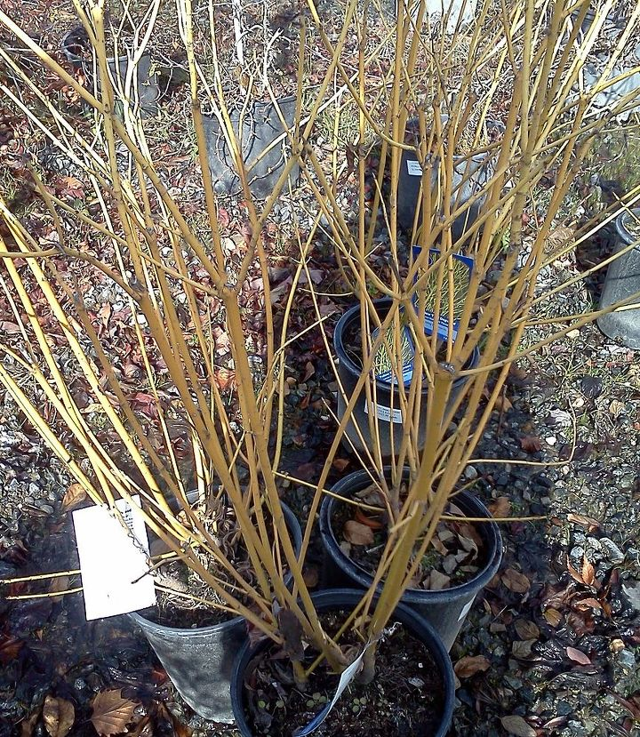 Yellow  twig dogwood  in all its winter glory. Beautiful when planted in mass or with the Red Twig as a compliment