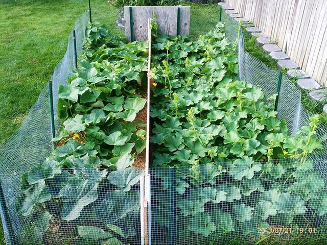Cucumber on left gotten 5-6 with lots coming & cantaloupe on right not even 1, don't get it!