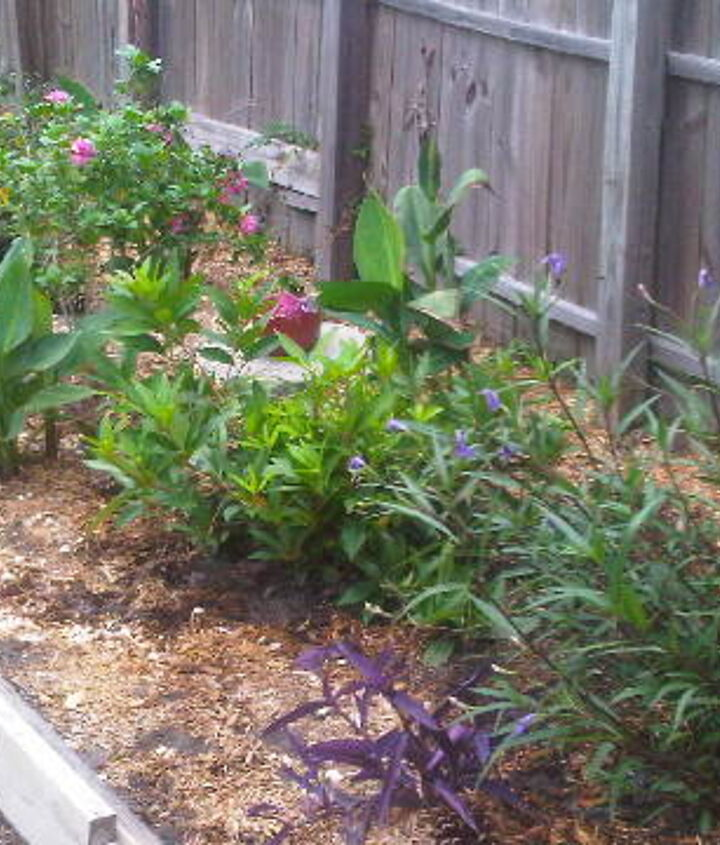 Lantana, Snow White Indian Hawthorn, Double Red Althea, Canna Lilies, Florida Anise, Ruellia, Purple Hearts
