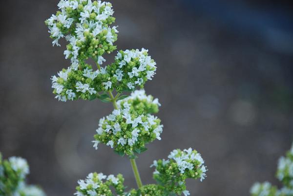 Oregano Flowers