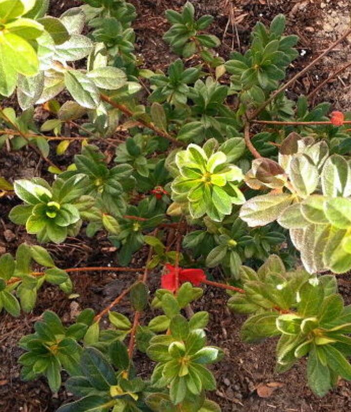 azaleas azaleas azaleas, flowers, gardening