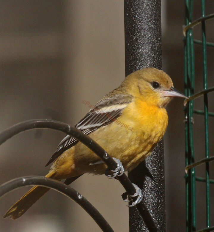 bird id needed, pets animals, Image featured with the same question on TLLG s FB Page