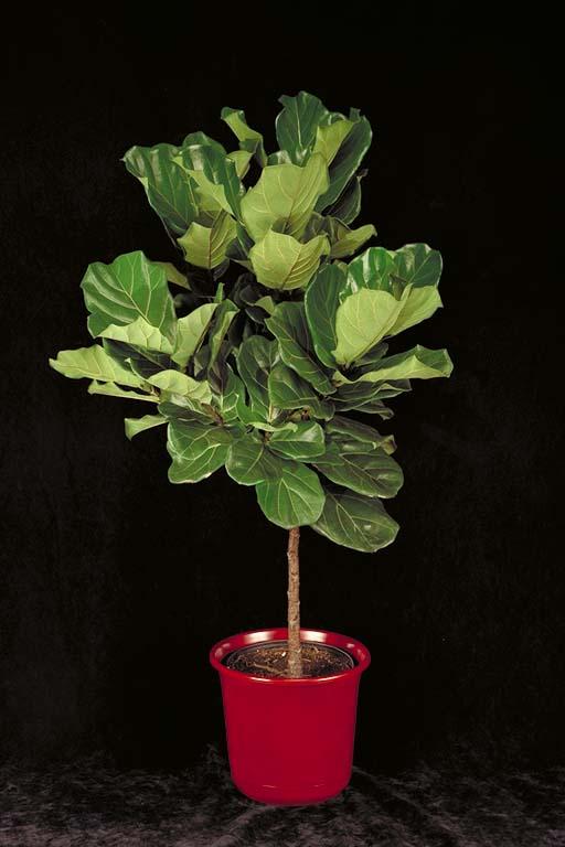 ficus fiddle fig tree, gardening