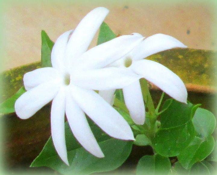 gardening, gardening, ANGELWING JASMINE