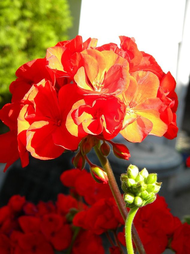 My favorite geranium color.  I winter them in the upstairs bedroom window.
