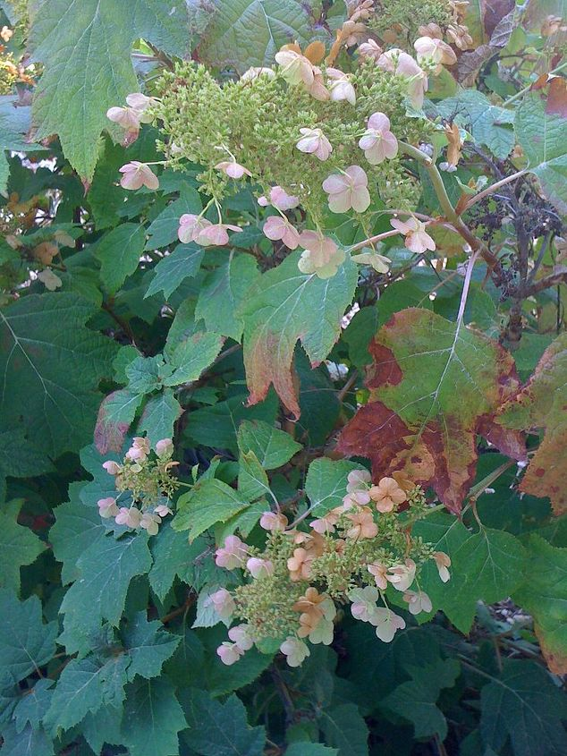 what s wrong with my hydranga, flowers, gardening, hydrangea, Leaves are big bit a little brown on the ed
