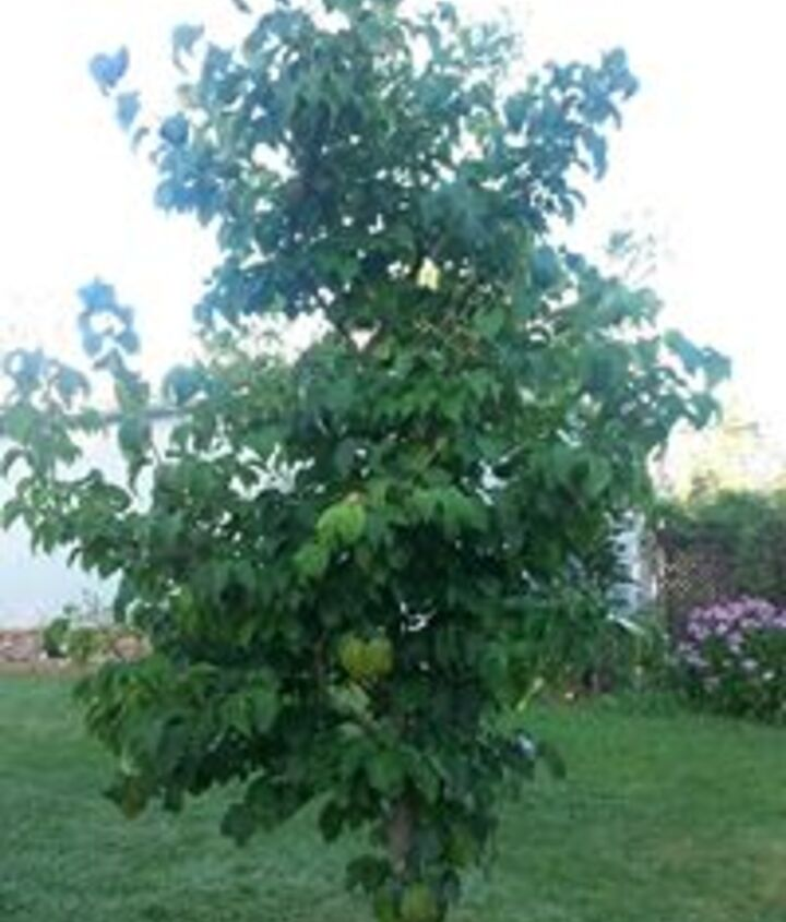 Japanese Lilac Tree, 5 years old