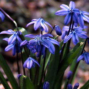 Scilla siberica are one of the best bulbs for shady situations and hardy in zones 4 through 8. (Photo via Brent and Becky's Bulbs: https://store.brentandbeckysbulbs.com/ )
