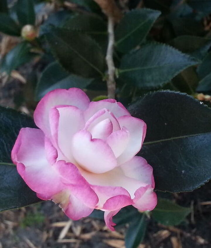 leslie ann camellia the new addition to my garden, flowers, gardening
