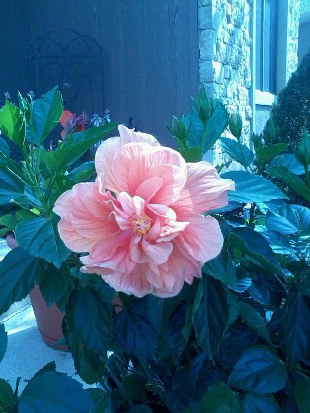 my double bloom hibiscus