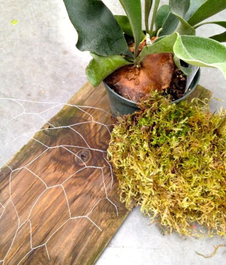how to mount a staghorn fern, gardening, You will need an old board chicken wire moss and a Staghorn Fern