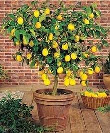 q hometalkers advice for growing my own lemon tree s indoors, gardening, Meyer Lemon Tree