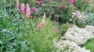 q looking for help jfk hybrid tea rose bush funky looking canes, flowers, gardening
