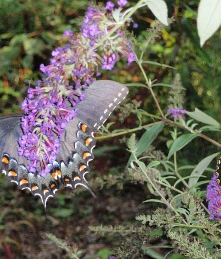 butterflies, pets animals