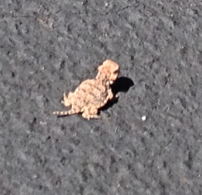 The smallest horned toad I have ever seen.  He was under an inch from tip of his nose to tip of his tail.  Read more about them here. http://www.arizona-leisure.com/horned-toad.html