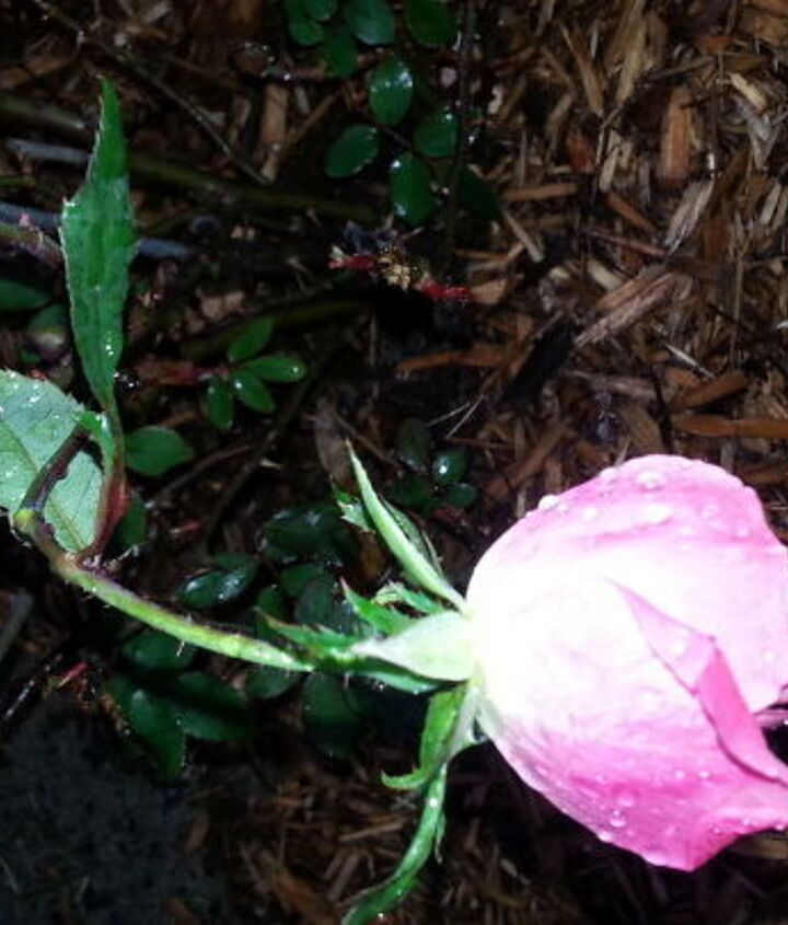 trying to graft my rose bush, gardening