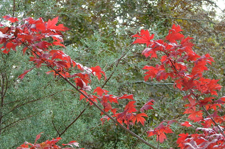 Leaves of maple (October Glory, I think) against Arizona cypress, both planted a few years ago.