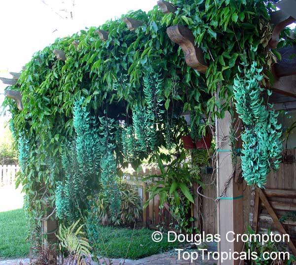 help finding turquoise jade vine, gardening
