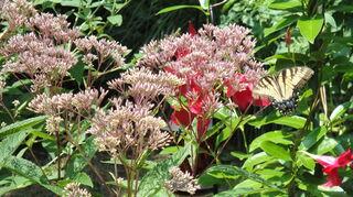 what is this weed, flowers, gardening, Joe Pye in my garden