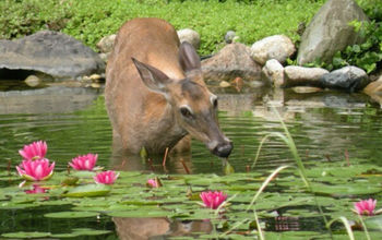deer proofing your water lilies, pest control, pets animals, ponds water features, Deer proof water lilies