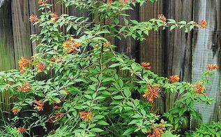 this year s orange flowering christmas tree, flowers, gardening