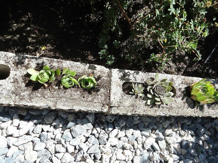 Decided to plant Hens and Chicks in the bricks we used to line the pathway. Will alternate colours, blues,reds & greens