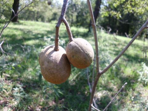 q tree identification east texas, gardening