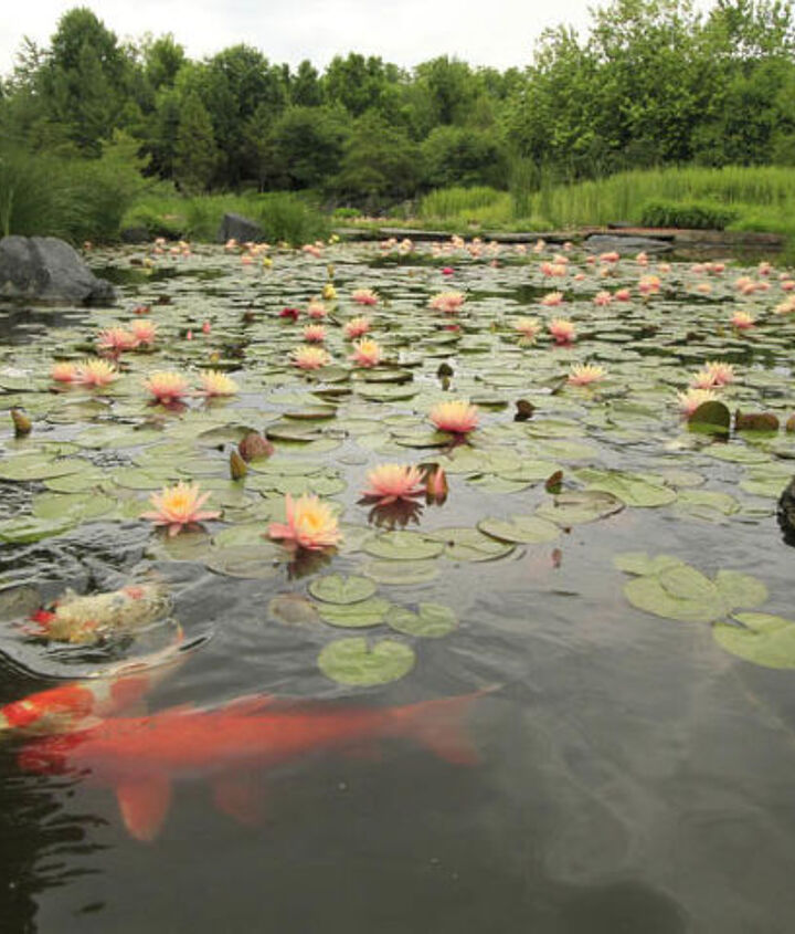 Colorful koi glide below the surface of the numerous lily pads.