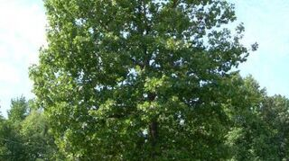 , This is the neighborhood infamous tree that blows leaves on the fellow to my left facing I sympathize with him as I don t like picking up the bulk of the leaves but I believe the tree is benefiting the neighborhood and our area