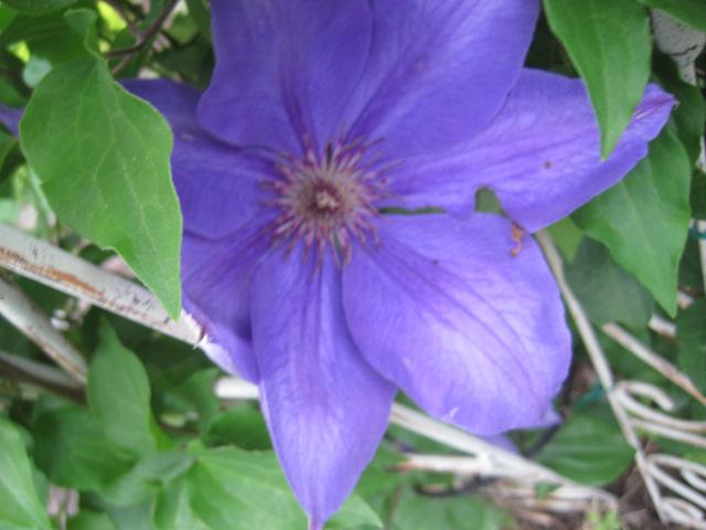 Another clematis, have no name.