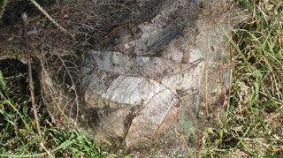 , Webworm sack full of leaves stripped from pecan tree