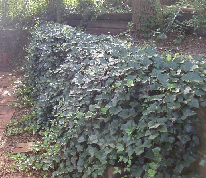 i m de jungling my yard and removing most of the ivy partly due to, gardening, landscape