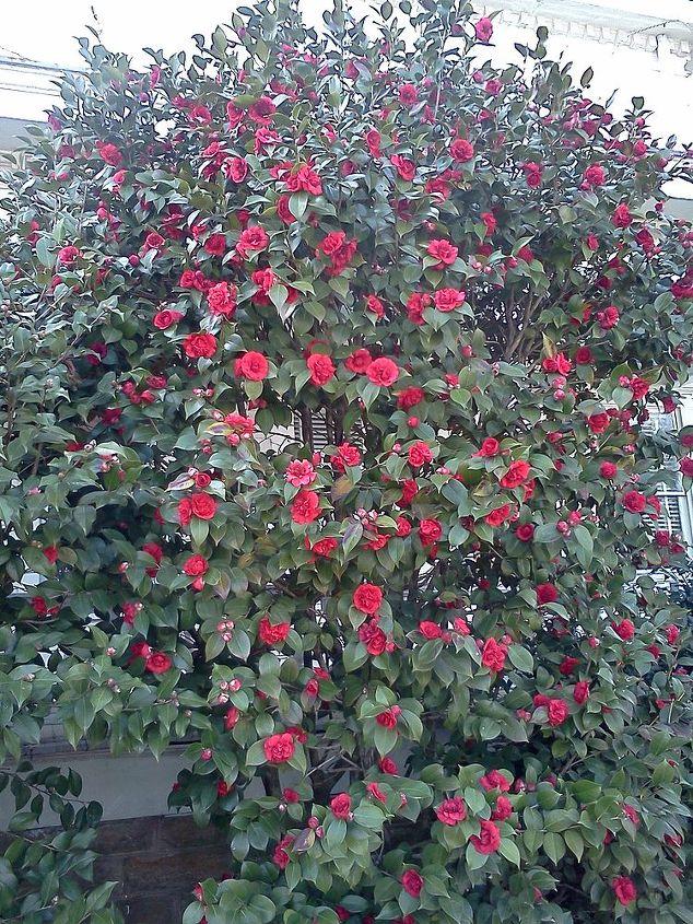 Mature Camellia