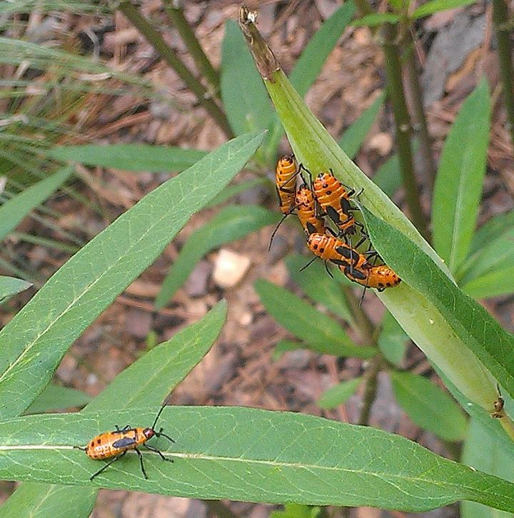 what are these bugs on my milkweed plant, gardening, pest control