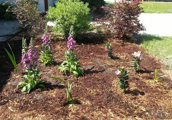 Rose Foxgloves, Oriental Lilies, Gladioli', Daylilies just to give this area some appeal til the others grow.