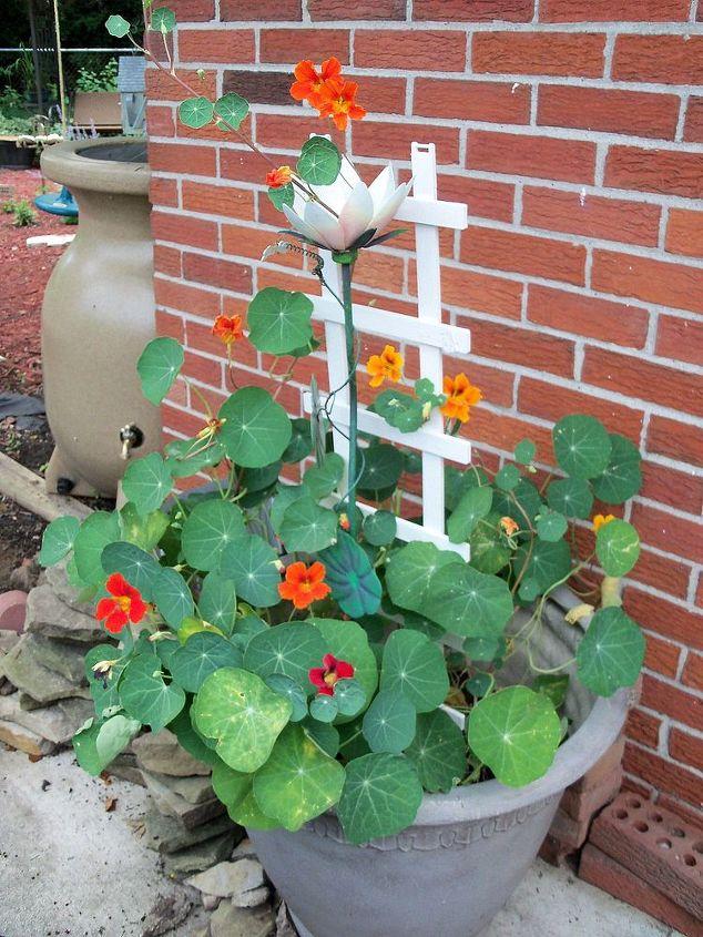 nasturtium vine in planter with pretty red, yellow and orange flowers