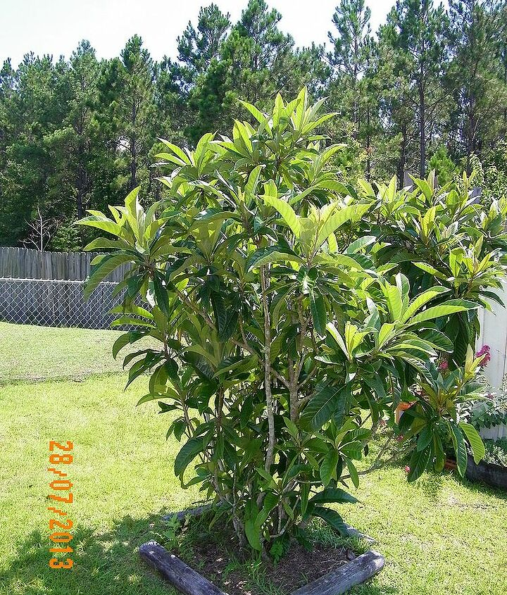 q my loquat tree puts on blossoms but does not bear fruits, gardening