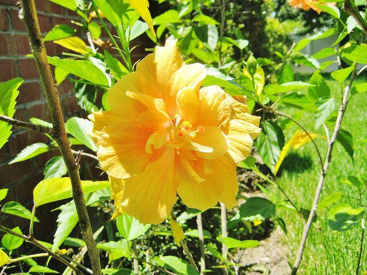 hibiscus outside my window, flowers, gardening, hibiscus