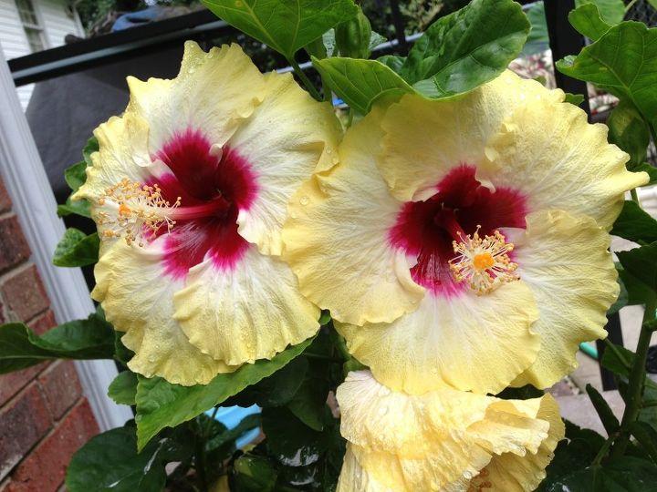 beautiful plants, flowers, gardening, hibiscus, raised garden beds
