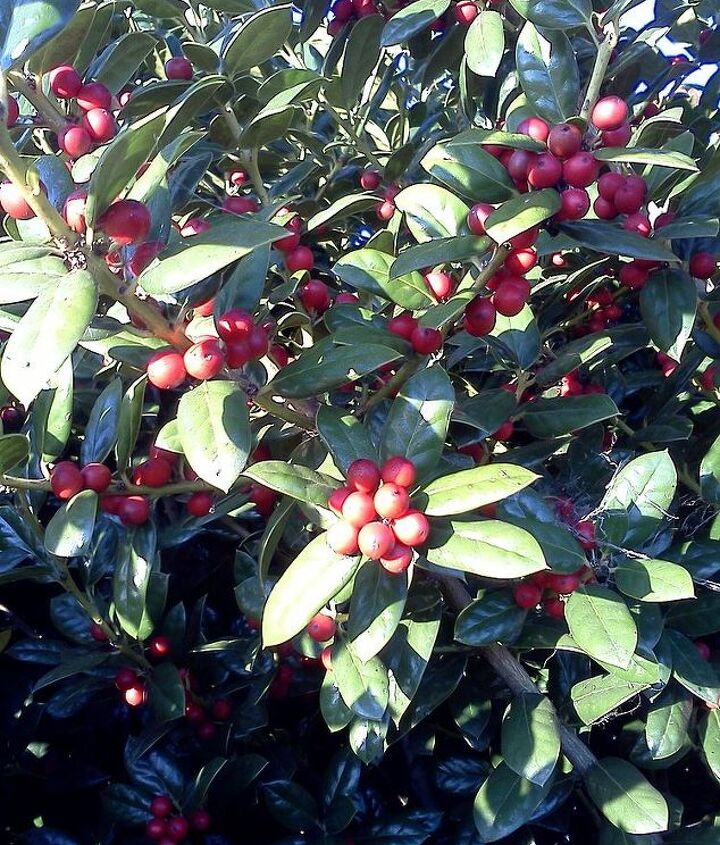 Hollies have a wonderful role to play in landscapes. Sturdy, hardy beautiful green with red berries