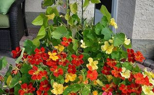 growing nasturtiums from seed to showstopper outdoor planters, flowers, gardening