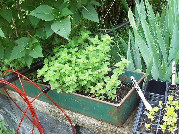 Last year's oregano