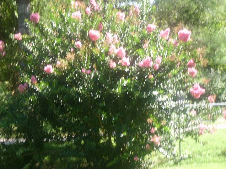 more of the clematis, gardening, One of the Crape Myrtle that was cut down