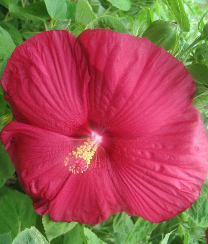 Red hibiscus, I have a white and pink also.