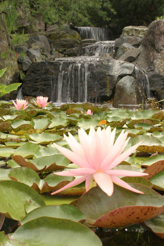 Beautiful Pink Grapefruit waterlilies grace the surface of the pond.