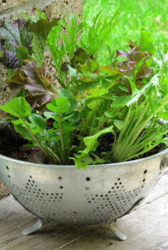 growing lettuce in a colander or how to grow and wash your veggies all in the same, container gardening, gardening, Lettuce bowl out of old colander